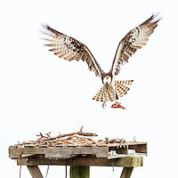 Osprey bring fish back to the nest.