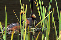 Like all grebes, the Eared Grebe (Podiceps californicus) nests on the water's edge, since its legs are set very far back and it cannot walk well. Usually two eggs are laid, and the striped young are sometimes carried on the adult's back.