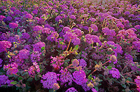 196850001 afield of flowering desert sand verbena abonia villosa in anza borrego desert state park california