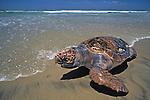 Dead Loggerhead Sea Turtle