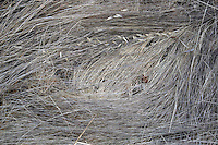 4 August 2006: Texture of dry weeds grass along Highway 1 through central California along the coast of Big Sur. Graphic, art, texture,brown, book.