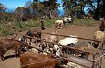 Goats feeding from troughs on farm.La Palma, Canary Islands, Spain