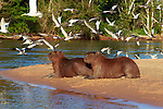 Capybaras on the beach with a flock of large-billed terns, Brazil