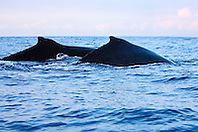 Humpback Whales, surfacing in pair, Megaptera novaeangliae, Hawaii, Pacific Ocean.