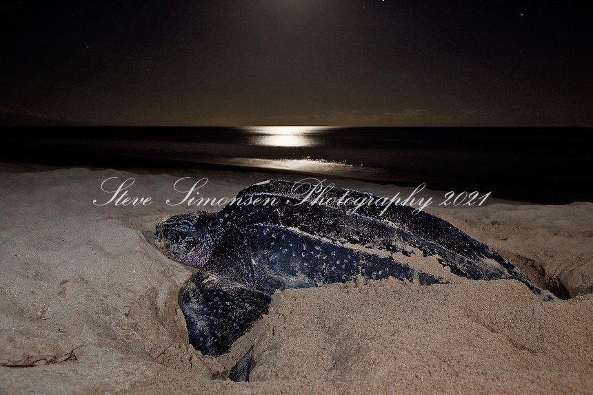 Endangered female nesting Leatherback Turtle<br /> Sandy Point Wildlife Refuge<br /> St Croix, U.S. Virgin Islands