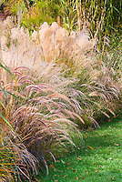 Ornamental grasses in fall, Pennisetum alopecuroides, Miscanthus sinensis