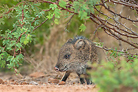 650520198 a baby javelina or collared peccary dicolytes tajacu on beto gutierrez ranch hidalgo county texas united states