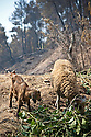 82 year old Katerina Antonopoulou's goats left with no grazing after wild fires razed the local pastures;