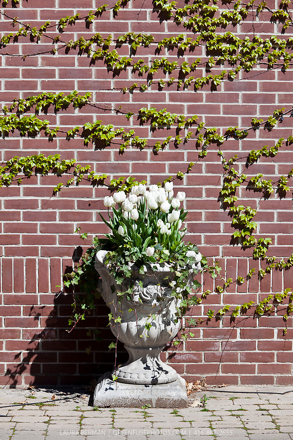 White tulips in a stone planter in front of a red brick wall.