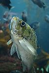kelp forest and fish at Monterey Bay Aquarium