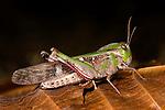 Grasshopper, Bandhavgarh National Park.India....