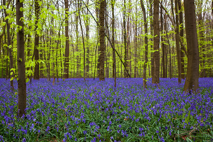 Bluebells in the Bois de Hal, Hallerbos, Belgium