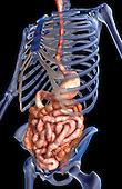 An inferior, anterolateral view (left side) of the digestive system relative to the skeleton. Royalty Free