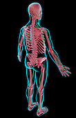 A superior posterolateral view (right side) of the lymphatic system. The surface anatomy of the body is semi-transparent and tinted blue. Royalty Free