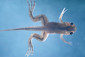 African Clawed Frog tadpole with legs and tail (Xenopus laevis).