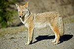 Wildlife - Coyote