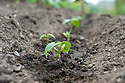 Dwarf French bean 'Speedy', end June. Young seedlings emerge 8 days after seeds were sown.