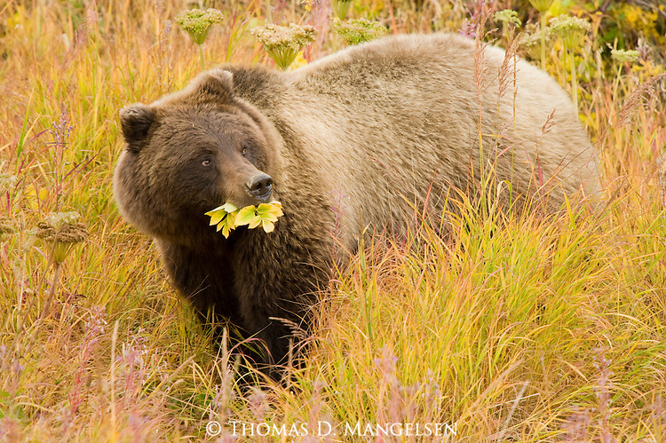Grizzly Bear foraging on the tundra in Denali National Park, Alaska.