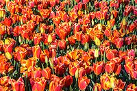 Bed of orange tulips in bloom.