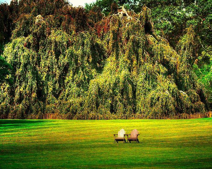 The Weeping Beech tree and Adirondack Chairs at Bayard Cutting Arboretum, Great River, Long Island