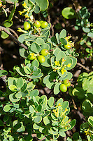The native Hawaiian 'akia plant is either male or female. Female plants, after flowering, produce attractive round fruits that are yellow, orange or red.