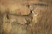 Colorado whitetail buck running during the autumn rut