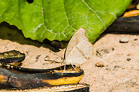 A Common Evening Brown butterfly (Melanitis leda) feeding on a decaying banana. (Cambodia)