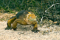 "It is estimated that between 5,000 and 10,000 land iguanas are found in the Galápagos, primarily the islands of Fernandina, Isabela, Santa Cruz, North Seymour, Hood. Charles Darwin called them ""ugly animals, of a yellowish orange beneath, and of a brownish-red colour above: from their low facial angle they have a singularly stupid appearance."""