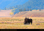 Bison with Starlings, Lamar Valley, Yellowstone National Park, Wyoming