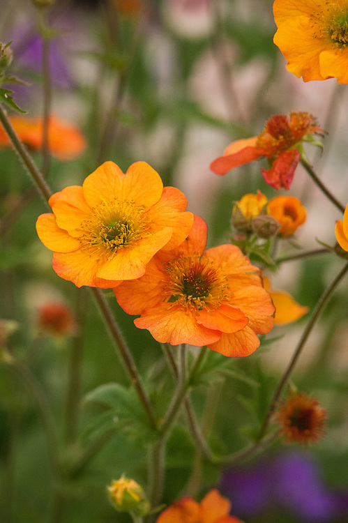 Geum 'Totally Tangerine', mid May.