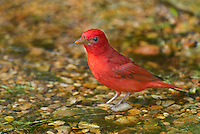 580980051 a wild male summer tanager pitanga rubra bathes in a small pond on south padre island cameron county texas united states