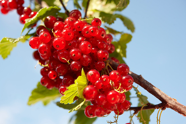 picture of red currants