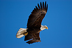 Alaska Wildlife - Eagles