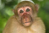 .Assamese Macaque (Macaca assamensis), adult,  Erawan National Park, Thailand