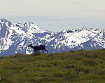 A deer walks across a meadow at Hurricane Ridge, a mountainous area in Washington's Olympic National Park. It can be accessed by road from Port Angeles and is open to hiking, skiing, and snowboarding. At an elevation of about 5,200 feet (1,585 m), Hurricane Ridge is a year-round destination. In summer, visitors come for views of the Olympic Mountains, as well as for superb hiking. During the winter months the small, family oriented Hurricane Ridge Ski and Snowboard Area offers lift-serviced downhill skiing and snowboarding. Hurricane Ridge is named for its intense gales and winds. The weather in the Olympic Mountains is unpredictable, and visitors should be prepared for snow at any time of year. Jim Bryant Photo. ©2013. All Rights Reserved.