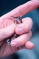 A rufous hummingbird,Selasphorus rufus, is given a close inspection by a researcher in Juneau, Alaska.