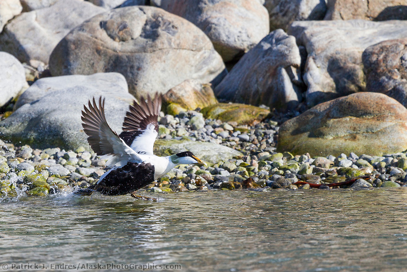 Common eider takes flight, Svalbard