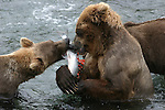 Alaska brown bears and salmon at Katmai NP