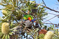 Rainbow Lorikeet intoxicated, Yuragir NP, NSW, Australia