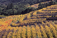 Napa Valley vineyard in fall color,