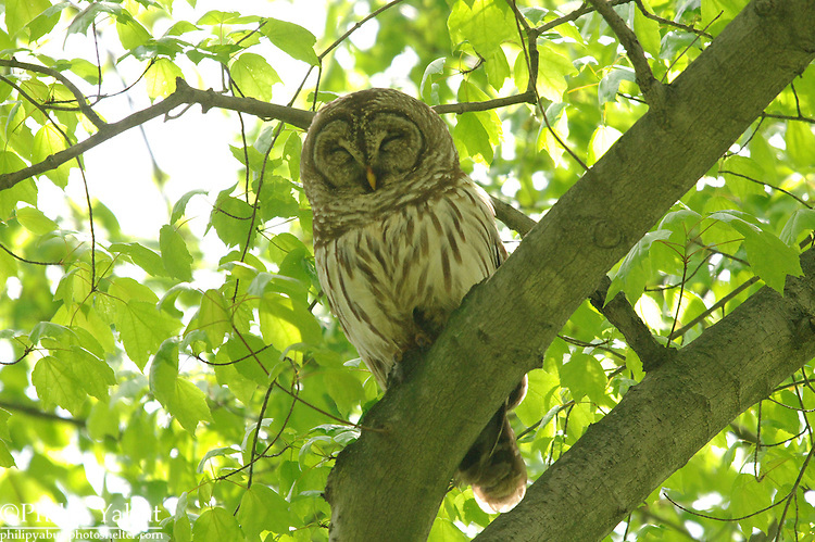Barred owl (Strix varia), Washington Grove, Maryland