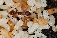 Rote Gartenameise, Rote Knotenameise, Rotgelbe Knotenameise, Nest mit Puppen und Larven, Myrmica rubra, red myrmicine ant, European fire ant, common red ant