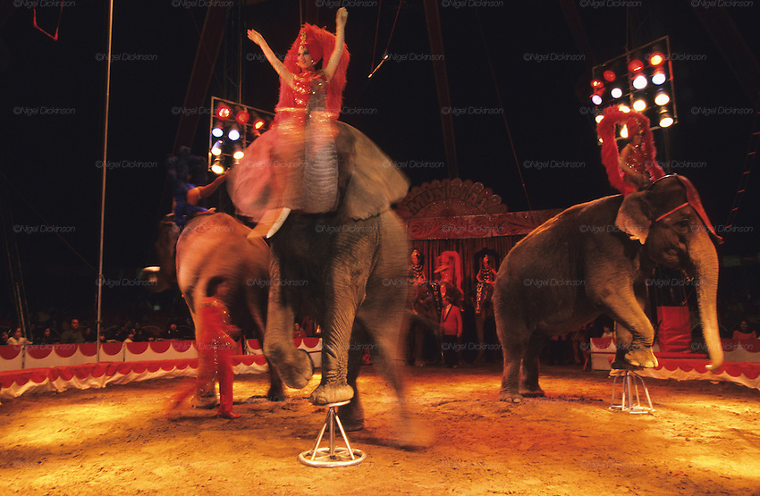 "Elephants performing at the circus during the Feria de Sevilla. The majority of elephants used in circuses were captured in the wild when they were babies. The circus portrays itself in a fun, loving light. The truth behind that is there is many animals endure cruelty for human entertainment. ..The Feria de abril de Sevilla, ""Seville April Fair"" dates back to 1847. During the 1920s, the feria reached its peak and became the spectacle that it is today. It is held in the Andalusian capital of Seville in Spain. The fair generally begins two weeks after the Semana Santa, Easter Holy Week. The fair officially begins at midnight on Monday, and runs six days, ending on the following Sunday."