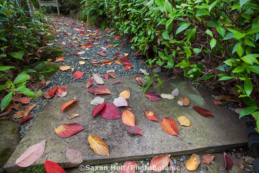 Autumn leaves from Dogwood tree (Eddie's White Wonder) on gravel path with stone pavers  Edelson Garden