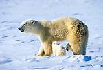 Polar bears are the only marine bear and are the largest of all terrestrial carnivores. They have an extra layer of fat under skin and are excellent swimmers. Native throughout Polar Basin, parts of Canada, and Greenland.