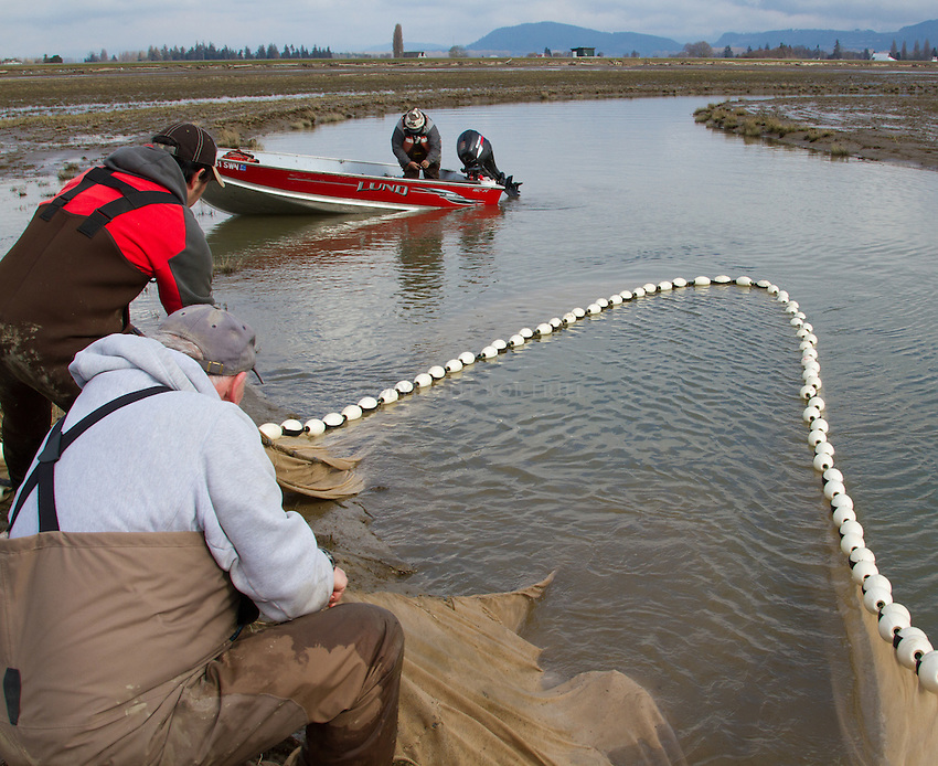 Images of Fir Island Farms habitat restoration monitoring in Skagit County. Project provides rearing habitat for young endangered Chinook salmon along with other wildlife.