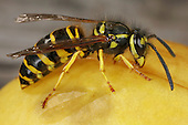 Southern Yellow Jacket eating fruit.