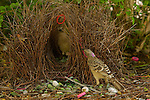 Great Bowerbird (Chlamydera nuchalis) male displaying to a female who has entered his bower.  He tosses one of his prize decorations (a red hair band) into the air..The bower has various green and white and some red decorations including green fruits and various manmade objects.  Located on the campus of James Cook University..Townsville, Queensland, Australia...JCU Bower #2