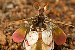 Peacock mantis shrimp  (Odontodactylus scyllarus) also known as the harlequin mantis shrimp or painted mantis shrimp.