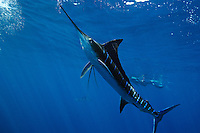 qf0813-D. Striped Marlin (Tetrapturus audax). Baja, Mexico, Pacific Ocean..Photo Copyright © Brandon Cole. All rights reserved worldwide.  www.brandoncole.com..This photo is NOT free. It is NOT in the public domain. This photo is a Copyrighted Work, registered with the US Copyright Office. .Rights to reproduction of photograph granted only upon payment in full of agreed upon licensing fee. Any use of this photo prior to such payment is an infringement of copyright and punishable by fines up to  $150,000 USD...Brandon Cole.MARINE PHOTOGRAPHY.http://www.brandoncole.com.email: brandoncole@msn.com.4917 N. Boeing Rd..Spokane Valley, WA  99206  USA.tel: 509-535-3489